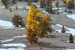 Sunset Light on Bristlecone Pine (fate atc) Tags: california sunset snow tree dry whitemountains bishop highaltitude bristleconepine ancienttree sunsetlightonbristleconepine