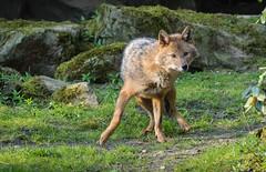 Golden jackal 2016-04-14-0487 (bzd1) Tags: animals dogs goudjakhals roofdieren jakhals animal mammal carnivore canidae canis burgerszoo goldenjackal canisaureus nature