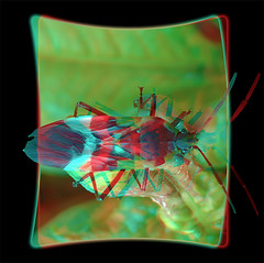 Large Milkweed Bug, Oncopeltus Fasciatus 4 -Anaglyph 3D (DarkOnus) Tags: macro beautiful closeup bug stereogram 3d phone pennsylvania butt large cell 8 anaglyph stereo mate milkweed thursday stereography buckscounty huawei oncopeltus fasciatus bbbt beautifulbugbuttthursday hbbbt darkonus