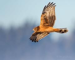 Northern Harrier (mLichy911) Tags: seattle morning bird nature sunrise canon colorful action flight raptor wa northern pnw goldenhour harrier bif 500f4 7dmarkii