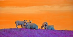 We grow your favourite sweater :) (Pics4life.nl off and on next week) Tags: light sky orange holland color wool colors grass animal landscape licht colorful purple sheep bright nederland fantasy nl lucht helder oranje landschap schapen paars fantasie kleurig