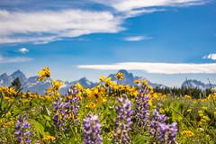 Wildflowers and Grand Tetons (Brenda Gooder) Tags: wildflowers grandtetons