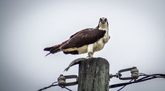 Osprey's Breakfast (skram1v) Tags: morning fish breakfast manitoba vb dull osprey drizzly lakewinnipeg june216