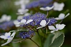 Seattle Flora (nebulous 1) Tags: seattle flowers white nature washington petals flora nikon dof purple seattleflora nebulous1