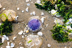 Jelly (joerimages) Tags: ocean sea shells seaweed beach wet water sand jellyfish tide stillife
