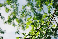 RIP Tree (sixthstationphoto) Tags: film 35mm gold200 contax137mdquartz