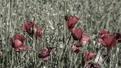 Roses (Noelgar99) Tags: red naturaleza white black rose photo natural photographic 74 365days 74365