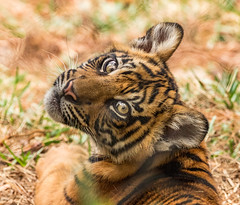 Chuff.....chuff..... (ToddLahman) Tags: baby cat canon teddy tiger tigers debbie sumatrantiger joanne safaripark escondido canon100400 tigercub babytiger chuff tigertrail sandiegozoosafaripark babysumatrantiger canon7dmkii