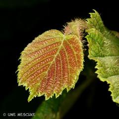 Frhlingsfarben (binax25) Tags: rot leaf spring laub grn braun blatt frhling haselnuss