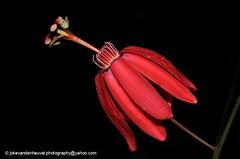 Passiflora glandulosa (jokevandenheuvel.photography) Tags: flower passiflora glandulosa red suriname wildlife biodiversity passifloraceae
