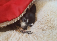 169/366 It's A Minky Thing (Helen Orozco) Tags: sleeping chihuahua bed minky galaxys6