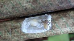 2016-06-13-7674 (figlio di un nocellese) Tags: spider silk hose eggs sack wateringhose nokia808pureview