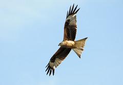 DSC_5117 Red Kite (PeaTJay) Tags: uk england birds outdoors reading gb tamron berkshire birdsofprey redkite lowerearley nikond300s