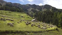 Pturage de montagne (Philis.Nat) Tags: france montagne alpes canon paysage extrieur moutons troupeau sommets pturage eos7d