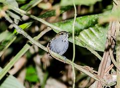 RSS_0458 (RS.Sena) Tags: brazil bird nature forest nikon natureza pssaro atlantic ave birdwatching mata atlntica d7000 sopaulobr