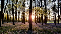 Bluebells (Steve_66) Tags: trees sunset sun nature bluebells rural countryside woods hampshire mitcheldever