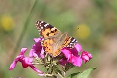 Vanessa cardui (Linnaeus, 1758) (Marcell Krpti) Tags: butterfly hungary lepidoptera paintedlady vanessacardui nymphalidae nymphalinae pszt bogncslepke