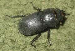 Dorcus parallelepipedus - female (John Steedman) Tags: uk greatbritain england london female insect unitedkingdom beetle stagbeetle grossbritannien   lesserstagbeetle   grandebretagne    dorcusparallelepipedus