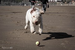 Focused (Forty-9) Tags: dog pet holiday beach june canon ball seaside sunday devon hendrix tennisball fetch focused lightroom italianspinone 2016 spinone ef70300mmf456isusm eflens forty9 eos60d tomoskay 19062016 19thjune2016