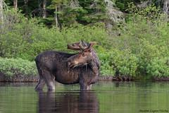 Orignal / Moose (Maxime Legare-Vezina) Tags: wild summer nature water animal fauna canon eau wildlife mammals biodiversity faune mammifere