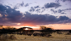 Tarangire Sunset (3scapePhotos) Tags: 3scapephotos africa tanzania acacia african animal animals buffalo cape capebuffalo clouds cloudscape color contemporary continent dawn den destinations dramatic exotic familyroom herd kenya landscape landscapes livingroom lobby masaimara modern nature ngorongorocrater office panorama panoramic safari serengeti silhouette sky study sun sunrise sunset tarangire travel tree wallart wideangle wildlife
