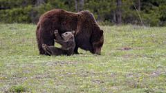 Snowy's Antics (jrlarson67) Tags: bear brown playing cute cub nationalpark furry nikon play snowy adorable grand grizzly teton d500 399