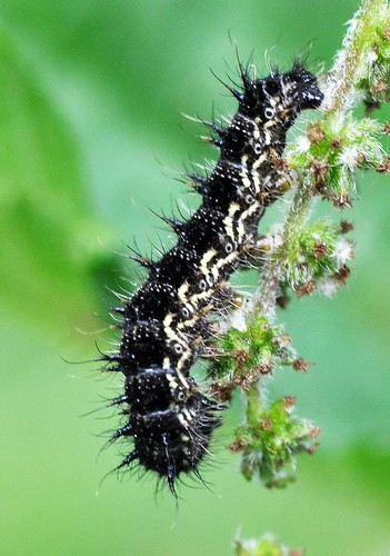 Small Tortoiseshell (Early instar)