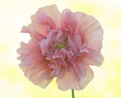 Rising Sun Poppy (Vidterry) Tags: poppy