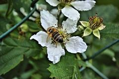 Sundays bee (camerito) Tags: macro austria sterreich flickr blossom krnten carinthia bee makro blte j4 biene nikon1 camerito