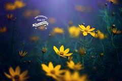 Yellow and blue (Borislav Aleksiev) Tags: blue light flower nature beautiful yellow dark nikon focus day zenit helios 442