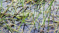 2016-06-24_10-52-54 (wiktor_furmaniak) Tags: carlzeiss tessar 50mm passionphotography frog nature sony alpha65 m42 manualfocus