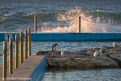 Curl Curl Sunrise (darrinwalden Photography) Tags: curl beach sydney australia sony cormorant seagull pool sunrise waves ocean