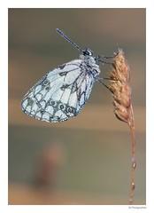 Papillon échiquier (JG Photographies) Tags: france macro nature butterfly europe papillon allier auvergne insecte azuré canon7dmarkii jgphotographies