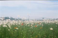 (pop archaeologist) Tags: city flowers summer film field daisies newjersey soft kodak bluesky newark expiredfilm portra400uc uncoatedlens baldabaldina