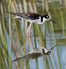 Jun 26 20161217 (Lake Worth) Tags: bird nature birds animal animals florida outdoor wildlife wing feathers wetlands everglades waterbirds southflorida birdwatcher canonef500mmf4lisiiusm canoneos1dxmarkii