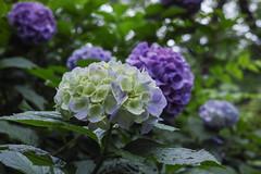 DP2Q3997lr (yoshitoshi ABe) Tags: flower sigma    dp2quattro 20160625