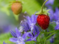 Fraise des bois (cani7575) Tags: macro des fraise bois 45mmf28