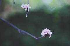 (Wolf's kurai) Tags: canon wolfskurai ume flowers light shadows