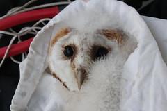 Barn Owl chicks (themadbirdlady) Tags: chick barnowl ringing tytoalba strigiformes tytonidae falkirkcouncil