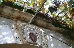 Preist, Christen, mit Zufriedenheit (amras_de) Tags: uga uva grape raisin pfalz mahats druif drue rasim traube weintraube rva zm druer grozdje vnber weinbeere ram viiniryple siebeldingen vinic vinstok druva szolo viinamari winorosl vinbero vinogas grode vynuoge grappugghia