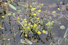 Yellow Water Buttercup (Ranunculus flabellaris Rafinesque) 06-11-2016 Roseau River WMA, Roseau Co. MN 2 (Birder20714) Tags: plants minnesota buttercups ranunculaceae ranunculus flabellaris