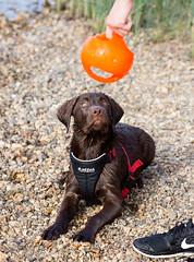 Gunnar (Grischan-LFC) Tags: dog canon labrador leipzig 5d bestfriend gunnar cospudenersee canonllens 135mmf2 wasserspas canoneos5dmarkiii
