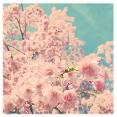 """* Considering how long I've been an """"Adler-enthusiast"""" I love that I've been seeing so many people giving the Adler lens a try! (*vanessa.) Tags: pink flowers sky tree cherry spring aqua soft pastel branches noflash pale sakura cherryblossoms dreamy blooms hazy airy skyblue softlight palepink softtones softcolors childsroom softcolours vanessaray hipstamatic inas1935film softphotograph lefoxvintage adler9009lens"""
