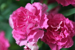 Pink flower for Mother's Day (eyawlk60) Tags: flowers favorite flower japan canon garden eos spring 5d carnation mothersday