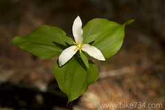 """Trillium • <a style=""""font-size:0.8em;"""" href=""""http://www.flickr.com/photos/63501323@N07/8733250063/"""" target=""""_blank"""">View on Flickr</a>"""