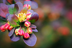 Berberis And Bokeh (alphazeta) Tags: macro bokeh shrub tinyflower berberis