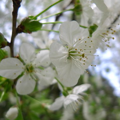 The white cherry - Le cerisier blanc (p.franche) Tags: brussels flower tree fleur cherry europe belgium belgique bruxelles brussel arbre schaarbeek schaerbeek cerisier belge lx3 parcjosaphat josaphatpark pascalfranche pfranche
