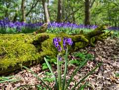 In the woods , Bluebells (Through Bri`s Lens) Tags: wood bluebells sussex forrest polarizer steyning sigma1770 canon7d wildflowermoss