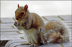 Grey squirrel eating a chip (PaulHP) Tags: london grey squirrel ear chip damaged