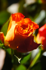 Sony A580 002 (NikWatt) Tags: flowers roses orange scotland flora edinburgh sony sigma handheld newhome cokin crossscreen greatcolors greatscots edinburghphotographers sonya580